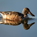 Northern Shoveler glassy reflection