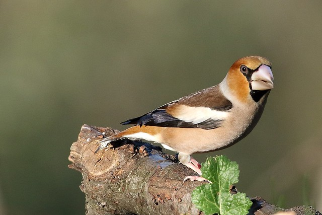 Coccothraustes coccothraustes (male)