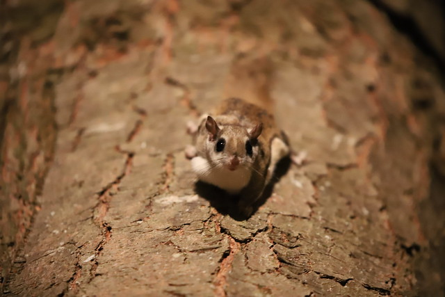 Southern Flying Squirrels (Ypsilanti, Michigan) - 339/2020 176/P365Year13 4559/P365all-time (December 4, 2020)