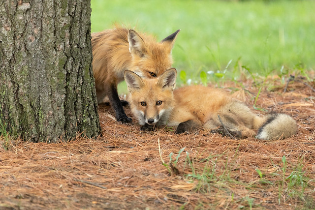 Red Foxes. Vixen hiding behind kit.