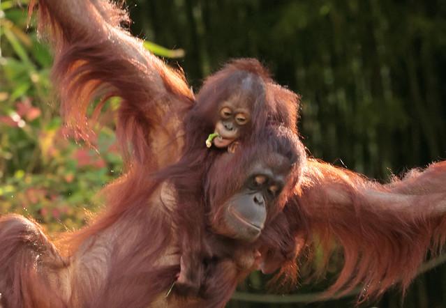 borneo orangutan Samboja and Indah apenheul 9K2A7088