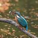Kingfisher -202012050373.jpg