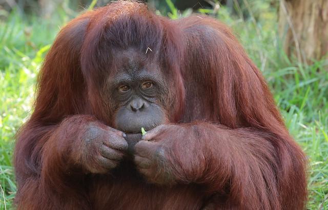 borneo orangutan Samboja apenheul 9K2A6920