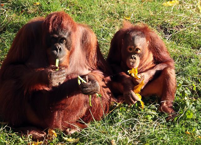 borneo orangutan Wattana  and Baju apenheul 9K2A6169
