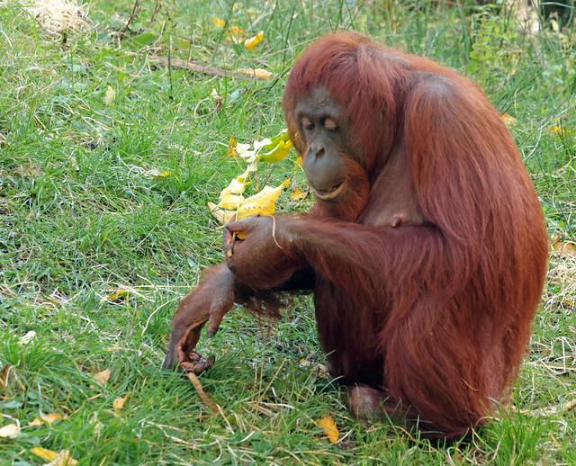 borneo orangutan Wattana  apenheul 9K2A7053