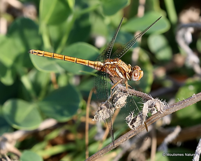 IMG_4529. Epaulet Skimmer (Orthetrum chrysostigma) F