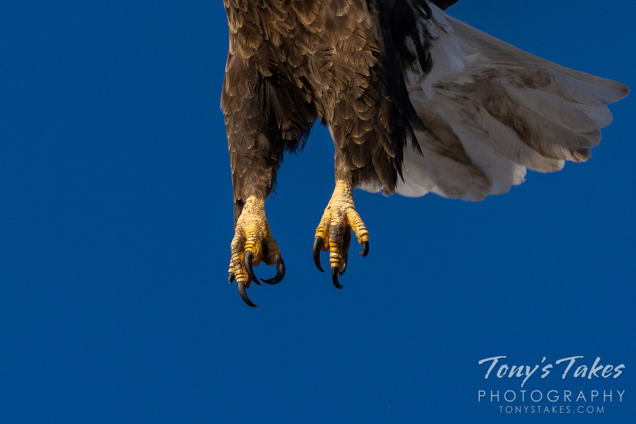 The business end of a bald eagle