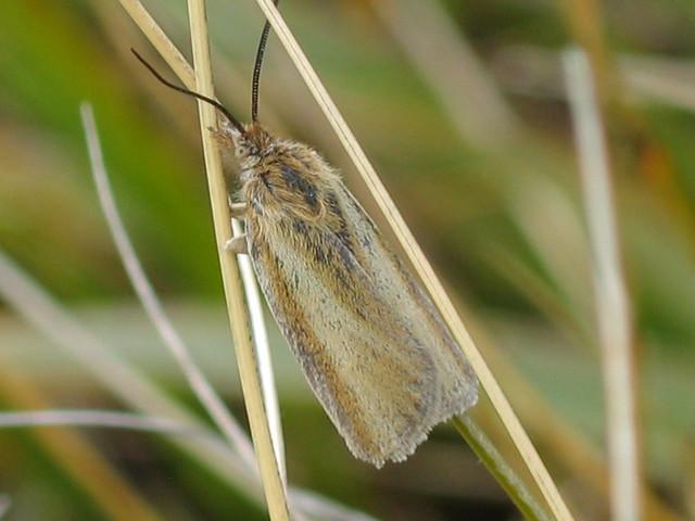Moth (Borland Saddle area)