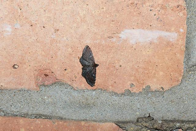 2018 The Gem Moth (Orthonama obstipata) 11