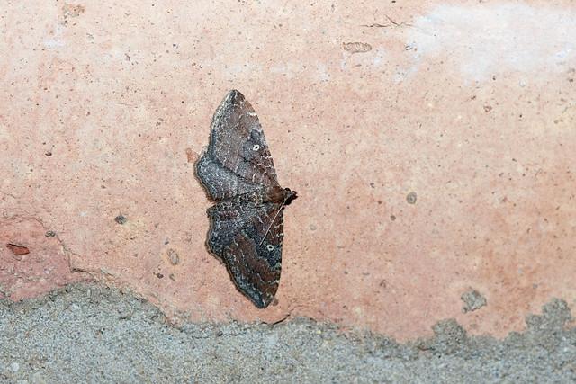 2018 The Gem Moth (Orthonama obstipata) 10