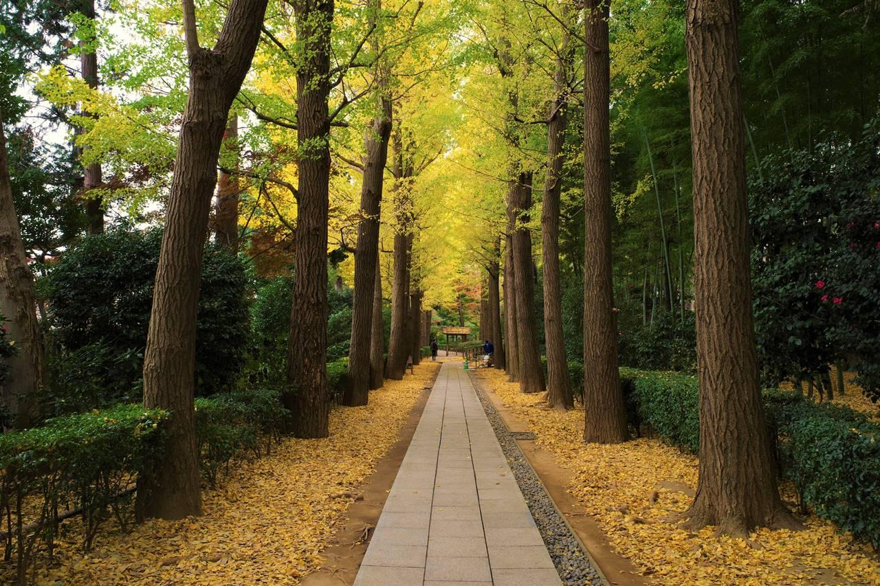 大田黒公園のイチョウ並木