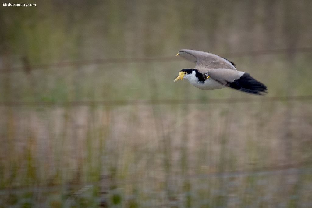 Masked Lapwing: So are you Feeling Lucky, Punk!