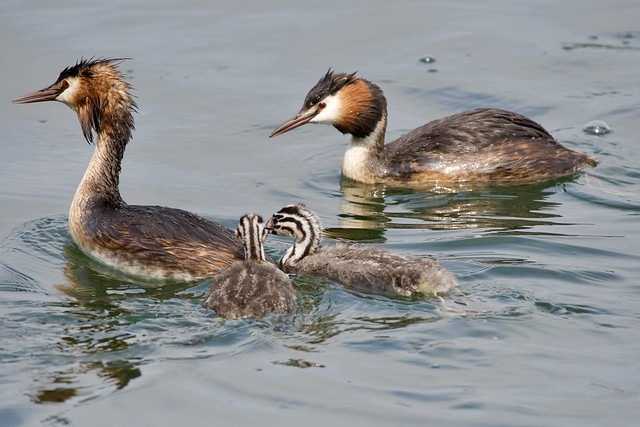 Great Crested Grebe Family   Podiceps Cristatus