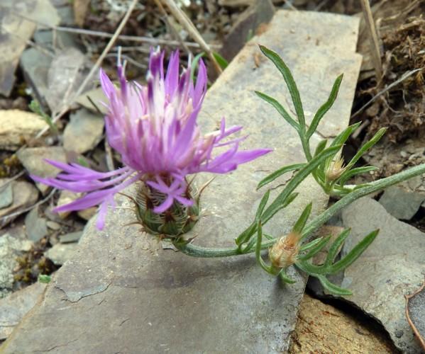 Centaurea pinae 50681916741_0bd66132c3_o