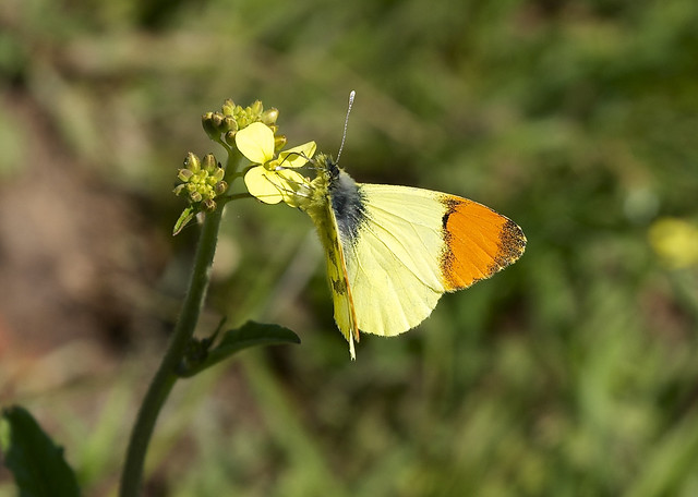 Provence Orange Tip --- Anthocharis euphenoides