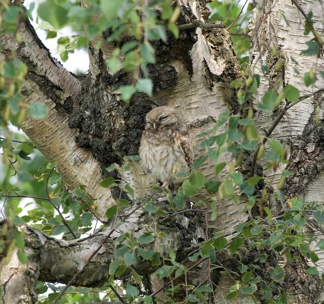 Little Owl  Juvenile.    Athene Noctua