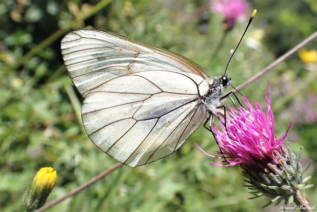 Butterfly 2022 (Aporia crataegi)