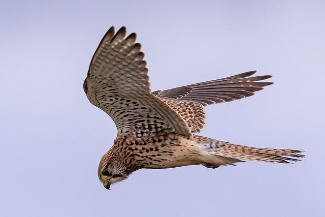 Kestrel neck extension on sighting prey