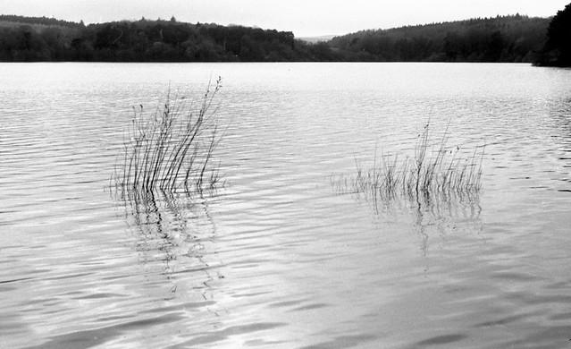 Reeds, Swinsty Reservoir