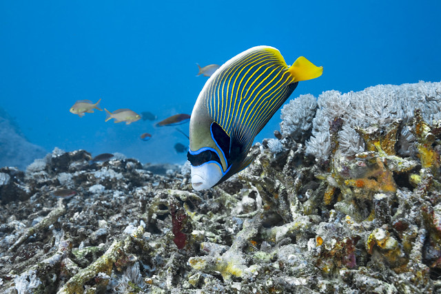 Emperor angelfish-Poisson ange empereur (Pomacanthus imperator)