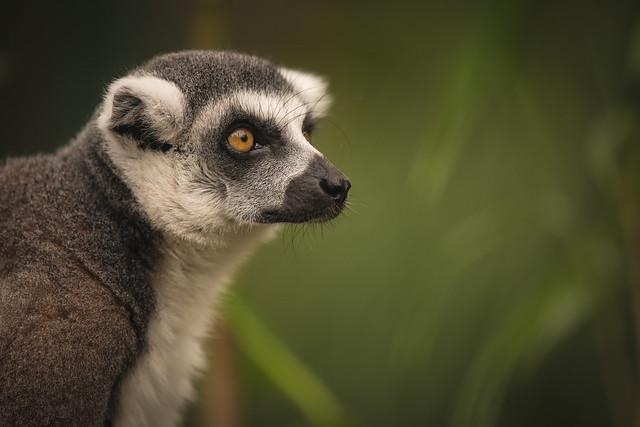 Leonard the ring-tailed Lemur.