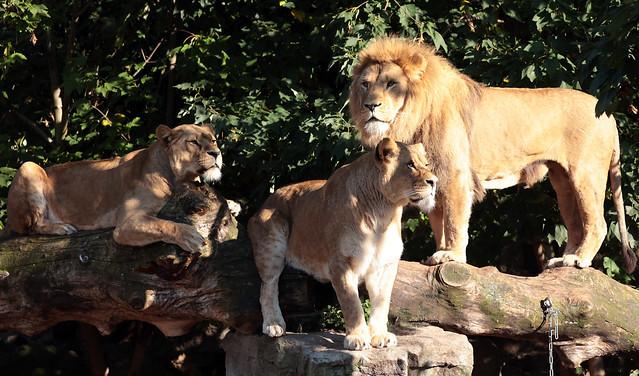 african lion Dembe Kacela Kianga artos 9K2A0286