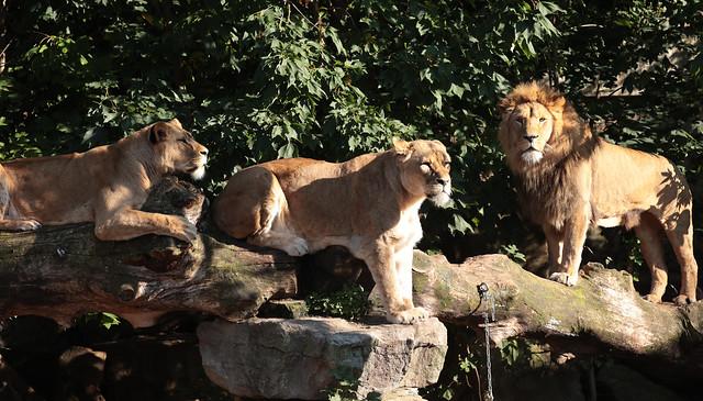 african lion Dembe Kacela Kianga artos 9K2A0321