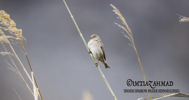 Spanish Sparrow (Passer hispaniolensis)