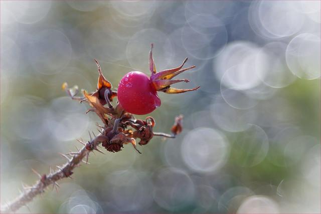dreamy rose hip