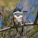 Belted Kingfisher, Megaceryle alcyon