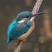 Kingfisher -202012051231.jpg