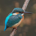 Kingfisher -202012051232.jpg