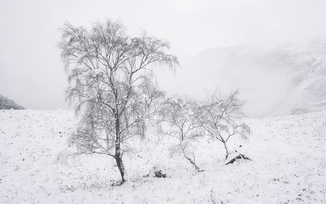 winter birches 2020