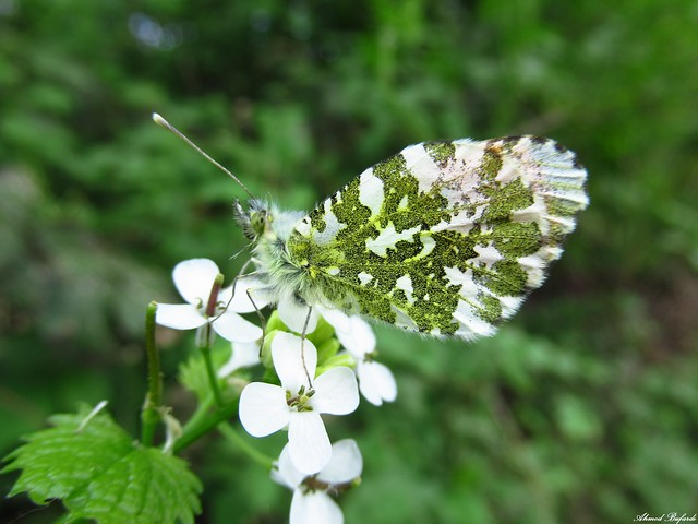Butterfly 2021 (Anthocharis cardamines)