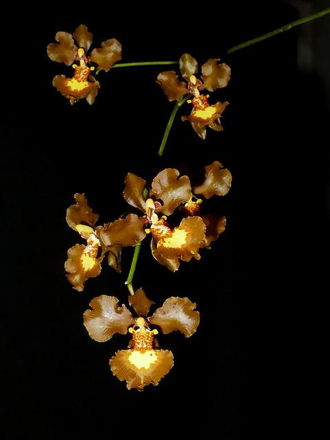 Oncidium praetextum (Gomesa praetexta) species orchid