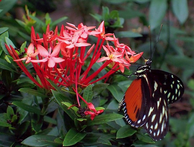 Probing for Nectar. Tiger Longwing, Heliconius hecale, on Ixora, Jungle Flame, Amsterdam Zoo ARTIS, Amsterdam, The Netherlands