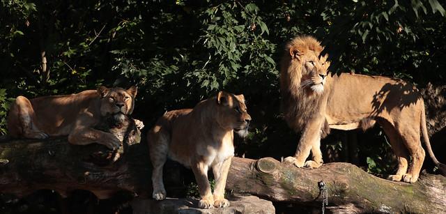 african lion Dembe Kacela Kianga artos 9K2A0242