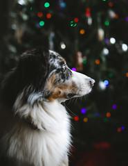 Christmas Ozzie