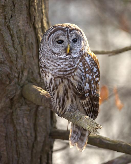 Patient Barred Owl (Strix varia)