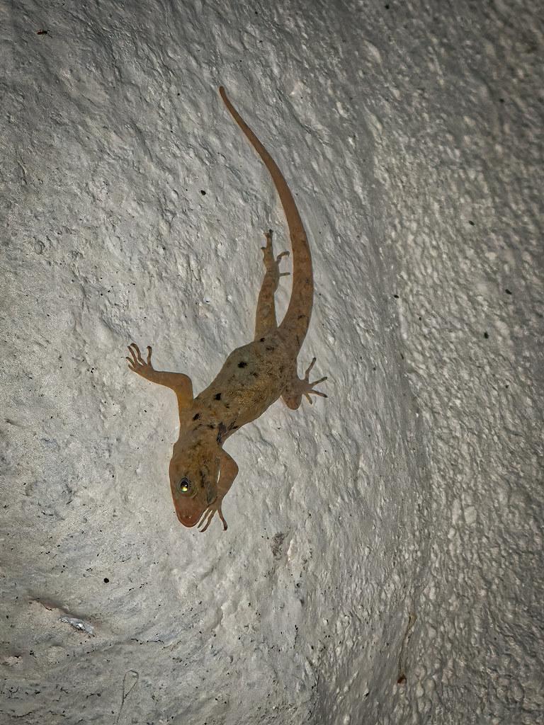 Gecko du soir... 50683736662_e4d87b8d68_b