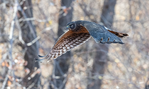 female_northern_harrier_in_flight-20201205-100