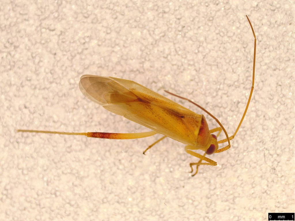 12 - Creontiades dilutus (Stål, 1859)