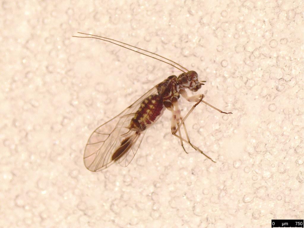 13 - Psocodea sp.