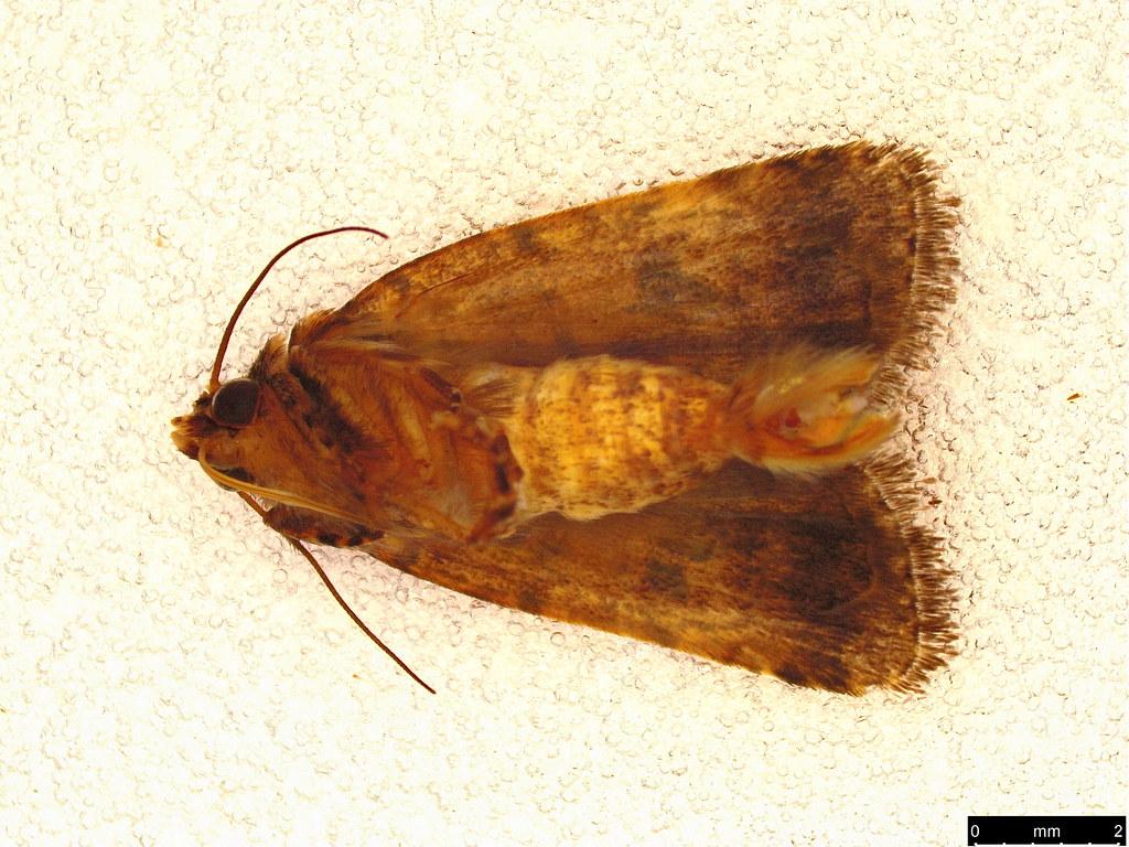 27c - Proteuxoa sp.