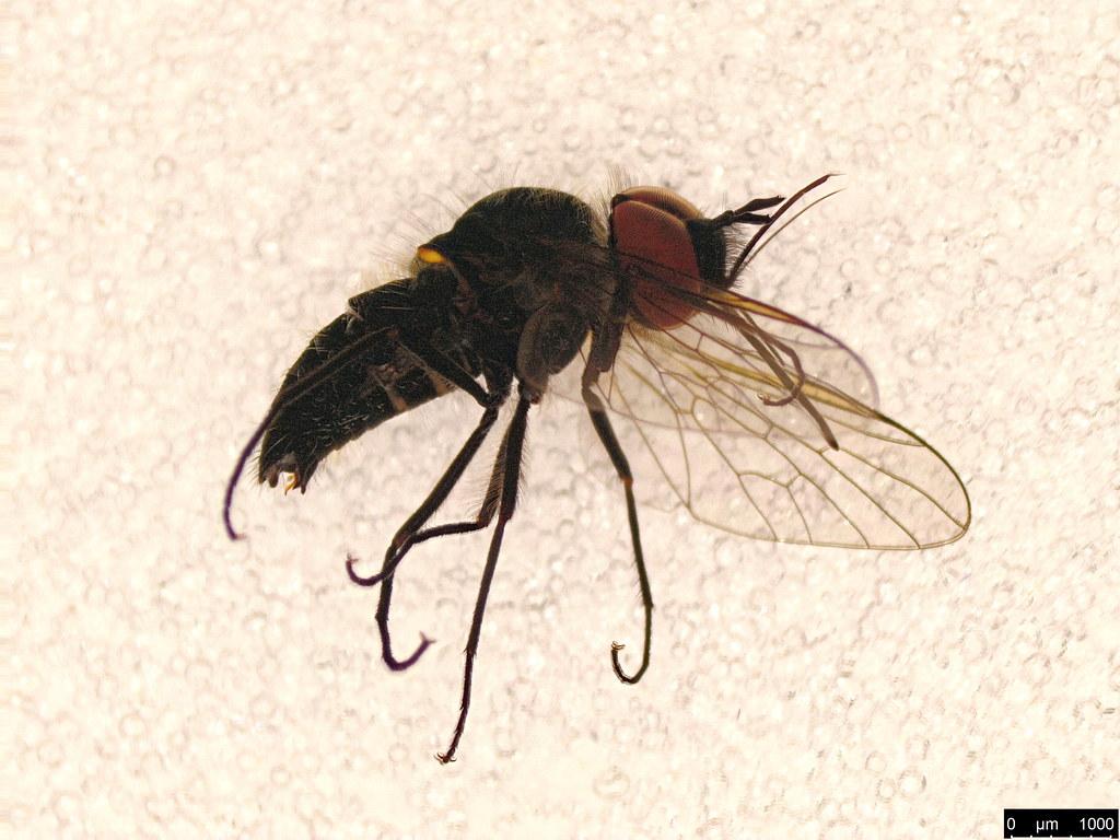 34 - Bombyliidae sp.