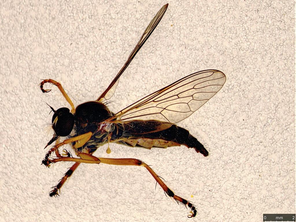36 - Asilidae sp.