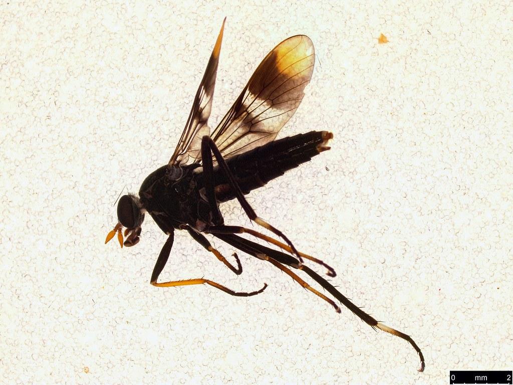 38b - Ectinorhynchus pyrrhotelus (Walker, 1854)