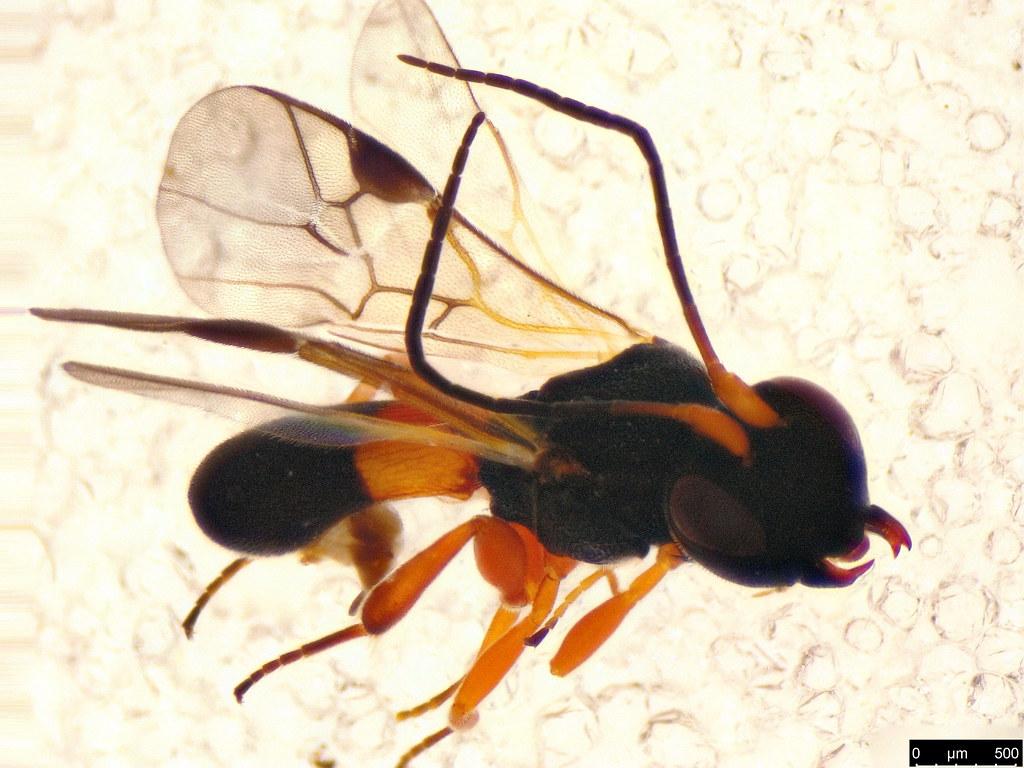 58b - Chelonus sp.