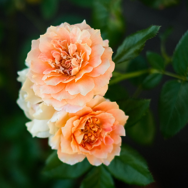 apricot roses