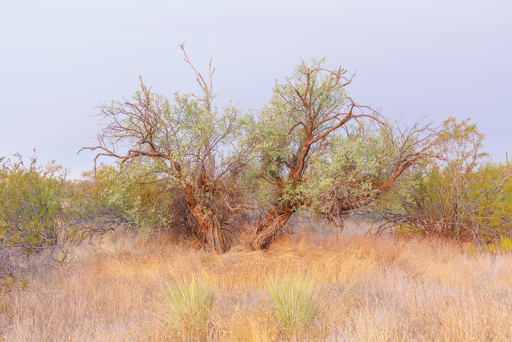 Two (or one?) trees appear to be dancing on Powerline Road No. 2 in McDowell Sonoran Preserve in Scottsdale, Arizona on August 2, 2020. Original: _CAM4158.arw